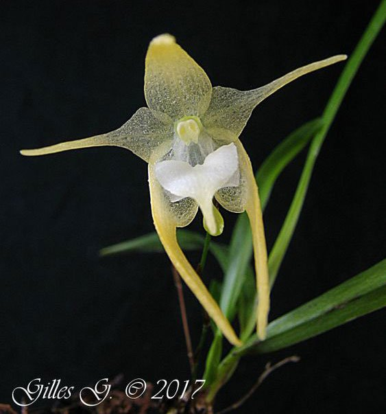 Orquídea Aeranthes